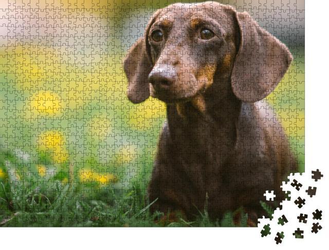"""Puzzle 1000 Teile """"Frühlingsporträt eines braunen Dackels"""""""