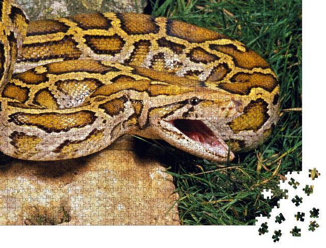 """Puzzle 1000 Teile """"Indische Python, bereit zur Verteidigung"""""""