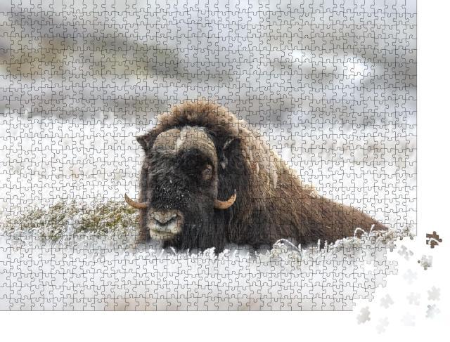 """Puzzle 1000 Teile """"Moschusochse auf vereistem Gras"""""""