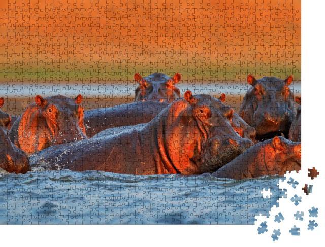 """Puzzle 1000 Teile """"Nilpferde baden im Abendlicht, Simbabwe, Afrika"""""""