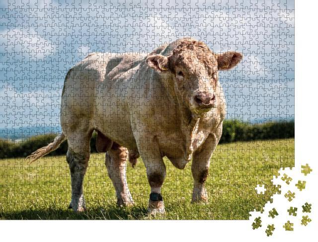 """Puzzle 1000 Teile """"Kräftiger Charolais-Bulle zeigt seine Muskeln auf dem Feld in Großbritannien."""""""