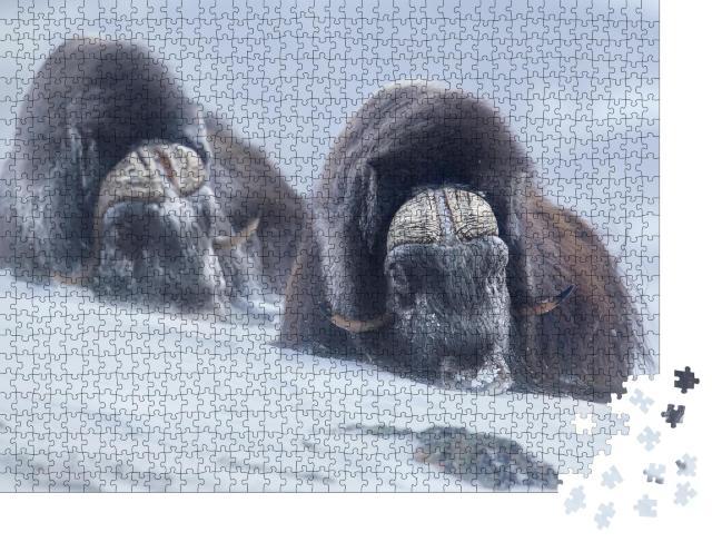 """Puzzle 1000 Teile """"Zwei große Moschusochsen in den verschneiten Bergen des norwegischen Winters"""""""