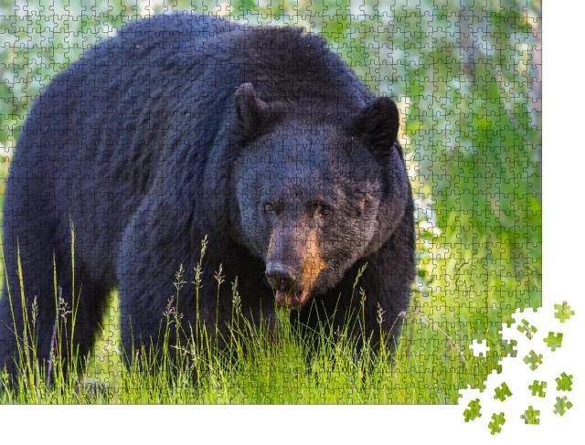 """Puzzle 1000 Teile """"Wilder Schwarzbär im Banff und Jasper National Park, Kanada"""""""