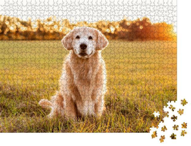 """Puzzle 1000 Teile """"Golden Retriever auf einer Wiese im Sonnenuntergang"""""""