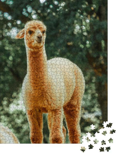 """Puzzle 1000 Teile """"Das Lama, ein Haussäugetier das in Südamerika weit verbreitet ist"""""""