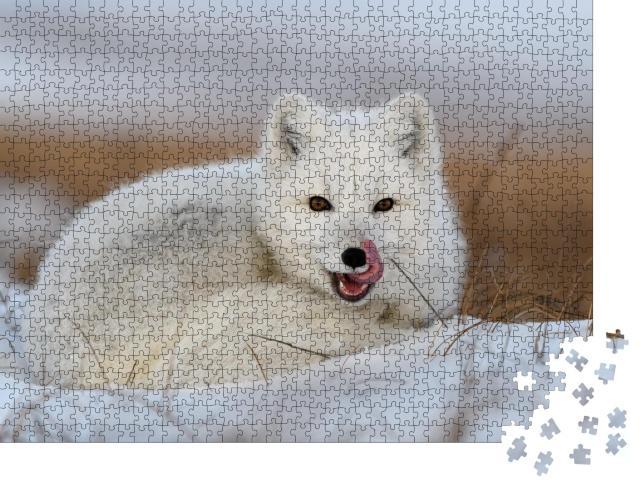 """Puzzle 1000 Teile """"Weißer Polarfuchs, Vulpes Lagopus, zusammengerollt auf Schnee"""""""