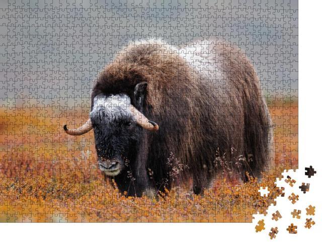 """Puzzle 1000 Teile """"Moschusochse in einer Herbstlandschaft, Dovrefjell, Norwegen"""""""