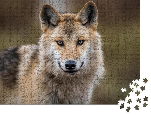 """Puzzle 1000 Teile """"Porträt eines grauen Wolfes, auch bekannt als Timberwolf"""""""