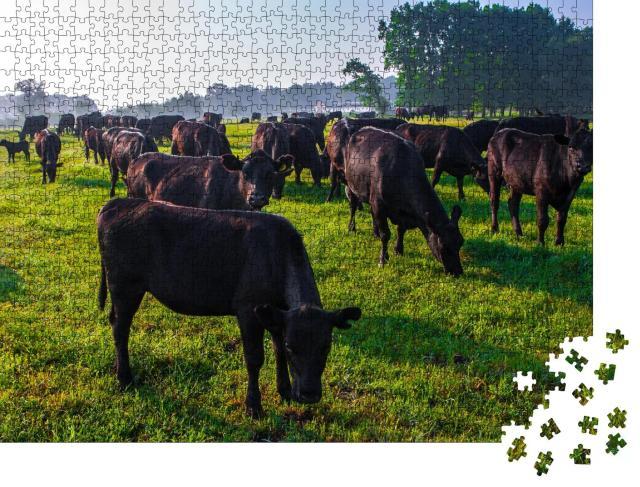 """Puzzle 1000 Teile """"Eine Herde schwarzer Aberdeen-Angus-Kühe im grünen Gras"""""""