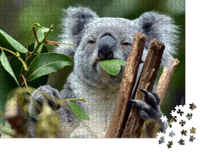 """Puzzle 1000 Teile """"Koala im Lone Pine Koala-Schutzgebiet in Brisbane"""""""