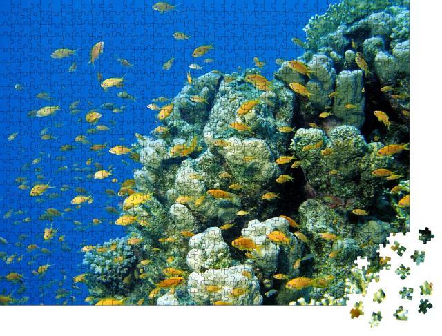 """Puzzle 1000 Teile """"Anthias Fahnenbarsche am tropischen Korallenriff im Roten Meer, Ägypten"""""""