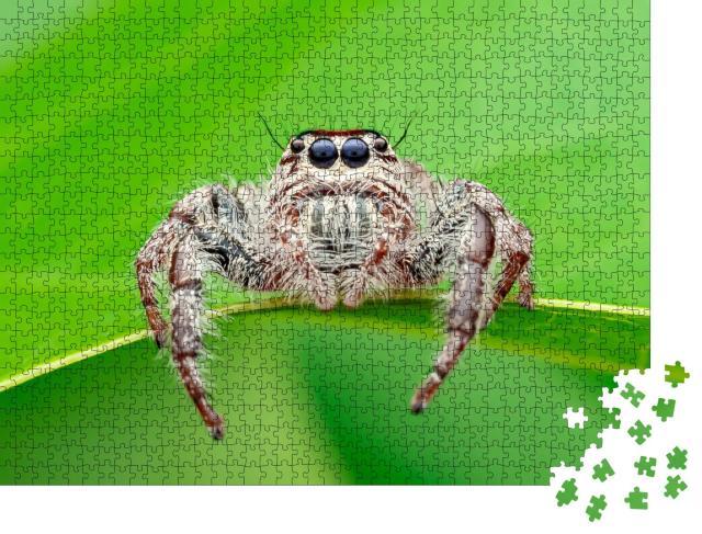 """Puzzle 1000 Teile """"Hyllus - die Webspinne, auch bekannt als Riesenspinne oder Springspinne"""""""