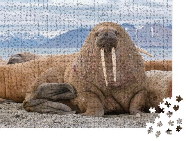 """Puzzle 1000 Teile """"Das Walross ist ein Meeressäugetier, es ist einer der größten Flossenfüßer"""""""