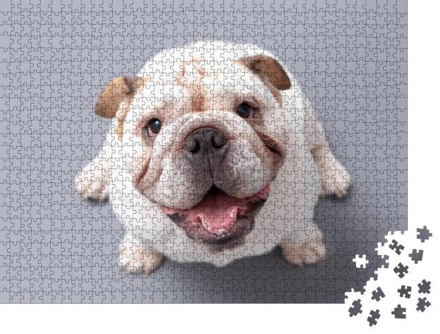 """Puzzle 1000 Teile """"Britische Bulldogge Welpe schaut nach oben, grauer Hintergrund"""""""