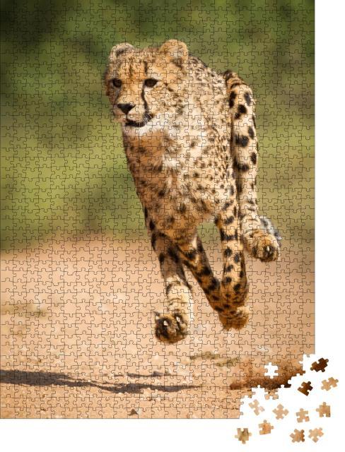 """Puzzle 1000 Teile """"Schneller Gepard, Kruger Park, Südfrika"""""""