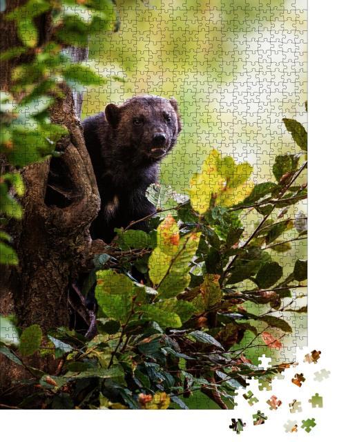 """Puzzle 1000 Teile """"Vielfraß, Gulo gulo, klettert auf einen Baum, grüne Blätter"""""""