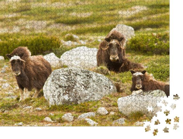 """Puzzle 1000 Teile """"Moschusoxen in Norwegen"""""""