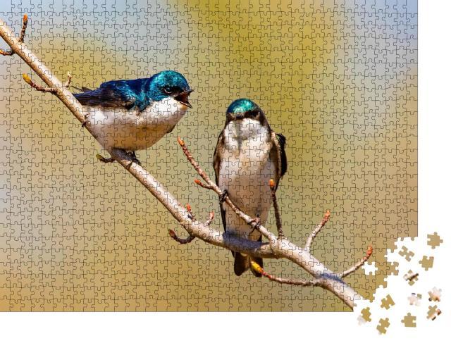 """Puzzle 1000 Teile """"Blau schimmernde Baumschwalben auf einem Zweig"""""""