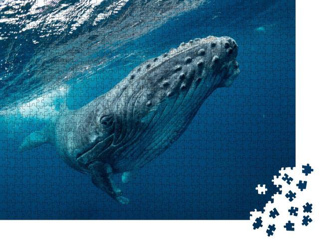 """Puzzle 1000 Teile """"Nahaufnahme eines schwimmenden Buckelwales im Meer, klares Wasser"""""""