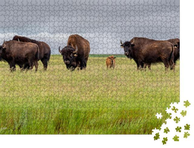 """Puzzle 1000 Teile """"Eine Herde Präriebisons mit einem Kälbchen, Kanada"""""""