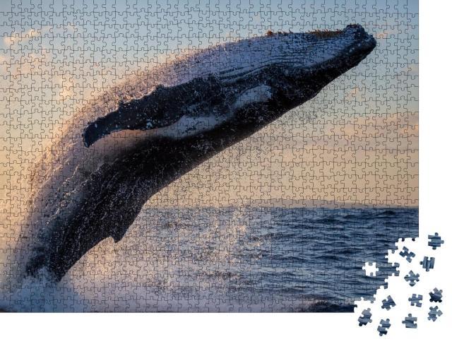 "Puzzle 1000 Teile ""Buckelwal in Nahaufnahme bei Sonnenuntergang vor Sydney Harbour"""