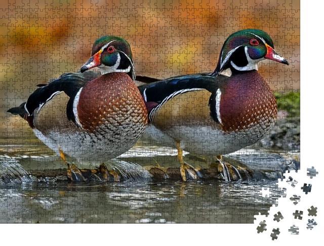 """Puzzle 1000 Teile """"Holzente oder Carolina-Ente ist eine Entenart, die zu den Sitzenten gehört"""""""