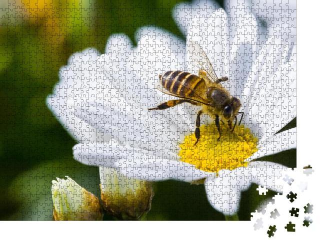 """Puzzle 1000 Teile """"Einzelne Gänseblümchenblüte und Biene im Frühling"""""""