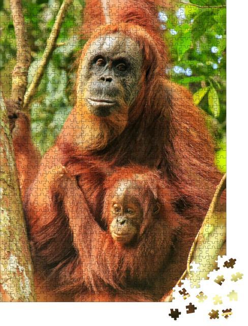 """Puzzle 1000 Teile """"Weiblicher Sumatra-Orang-Utan mit einem Baby auf einem Baum, Indonesien"""""""