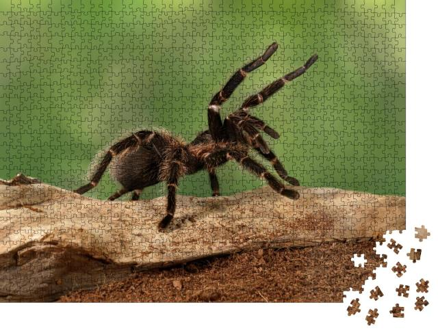 """Puzzle 1000 Teile """"Nahaufnahme eines Tarantula-Weibchens in bedrohlicher Haltung"""""""
