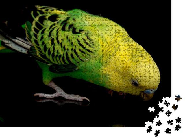 """Puzzle 1000 Teile """"Wellensittich, Melopsittacus undulatus, isoliert auf schwarzem Hintergrund"""""""