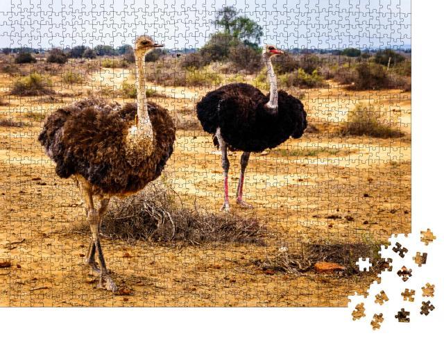 """Puzzle 1000 Teile """"Weiblicher und männlicher Strauß in der Halbwüstenregion, Westkap in Südafrika"""""""