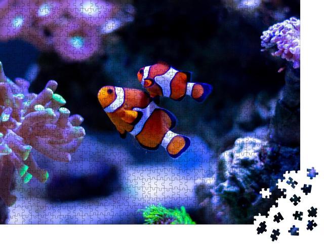 """Puzzle 1000 Teile """"Clownfisch schwimmt in einem Aquarium"""""""