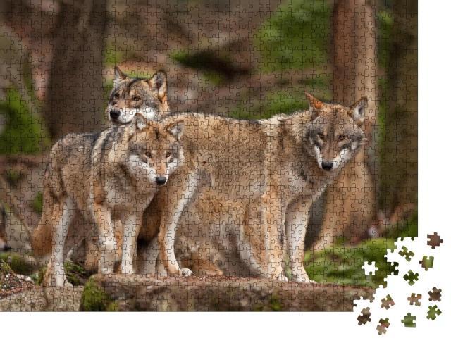 """Puzzle 1000 Teile """"Wolfsfamilie in ihrem natürlichen Lebensraum"""""""