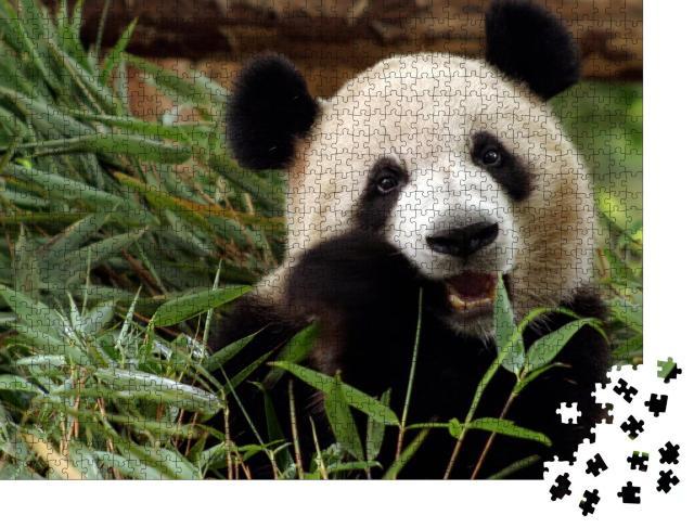 """Puzzle 1000 Teile """"Großer Panda genießt seine Bambus-Mahlzeit"""""""