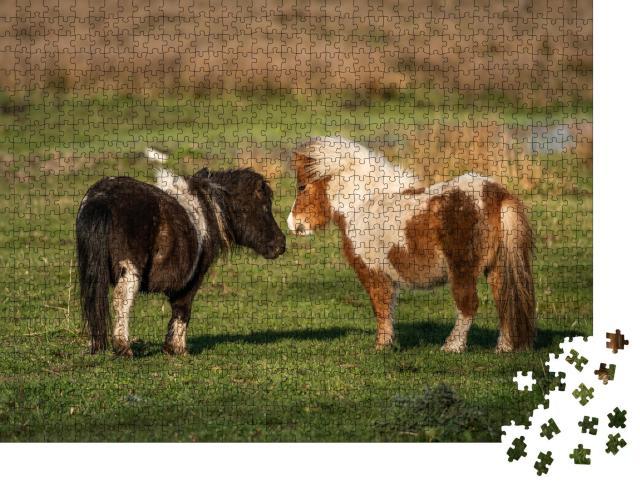 """Puzzle 1000 Teile """"Pony-Freunde: Shetlandponys auf den Weiden von Limburg, Niederlande"""""""