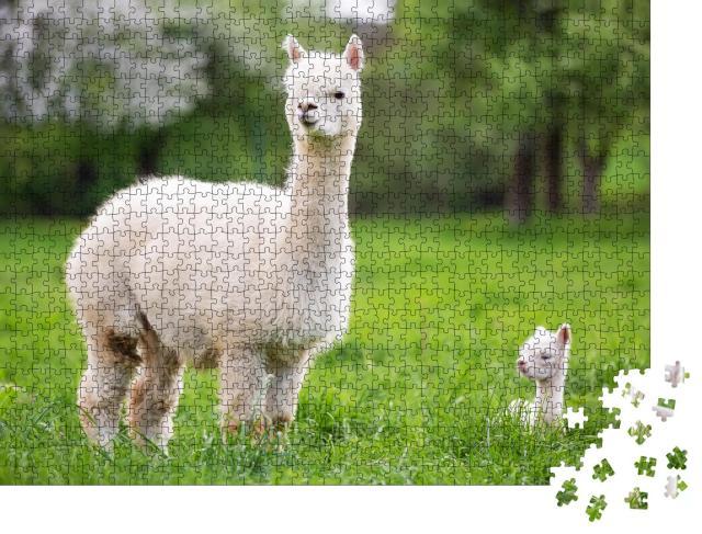 """Puzzle 1000 Teile """"Weißes Alpaka mit Nachkommen, südamerikanisches Säugetier"""""""