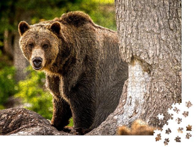 """Puzzle 1000 Teile """"Erwachsener Grizzlybär läuft durch den Wald"""""""