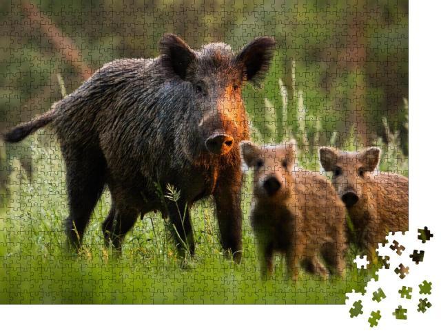 """Puzzle 1000 Teile """"Familie von Wildschweinen mit jungen Frischlingen auf Wiese bei Sonnenuntergang"""""""