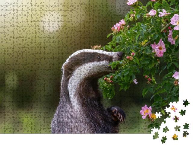 """Puzzle 1000 Teile """"Dachs steht auf seinen Hinterbeinen und schnuppert an einer Wildrosenblüte"""""""