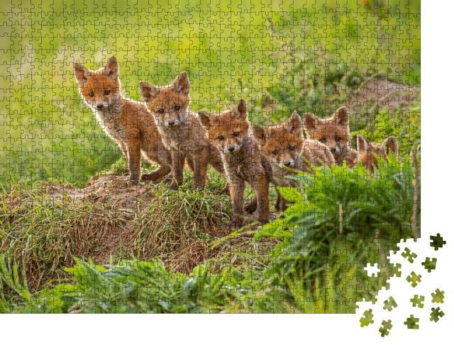 """Puzzle 1000 Teile """"Neugierige kleine Rotfüchse erkunden die Welt"""""""