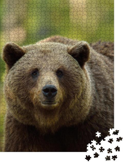 """Puzzle 1000 Teile """"Braunbär: Ursus arctos, Porträt im Wald"""""""