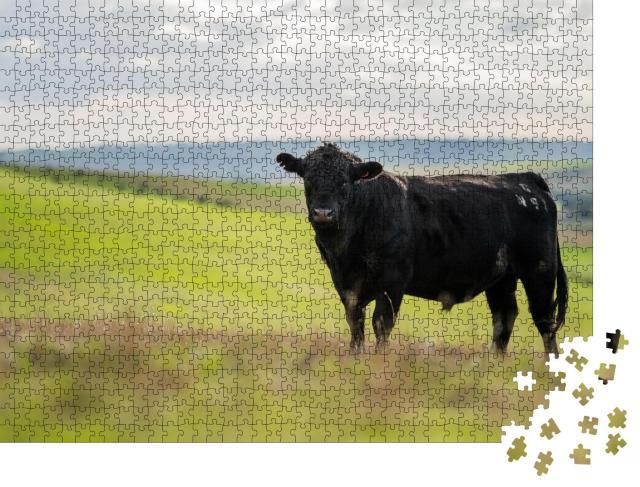 """Puzzle 1000 Teile """"Schwarzes Rind auf einer Weide in Australien"""""""