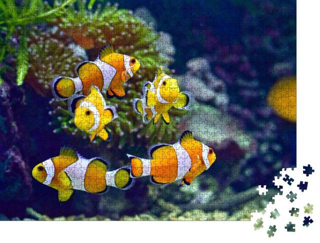 """Puzzle 1000 Teile """"Clownfische"""""""