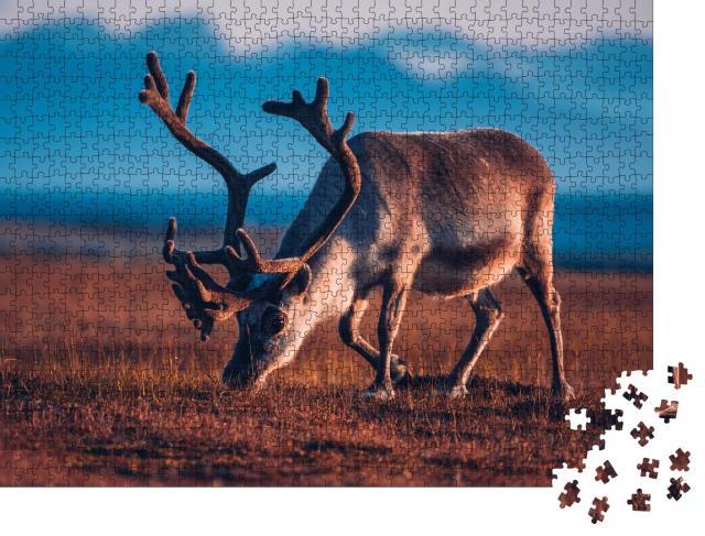 """Puzzle 1000 Teile """"Rentier beim Grasen im Abendlicht"""""""