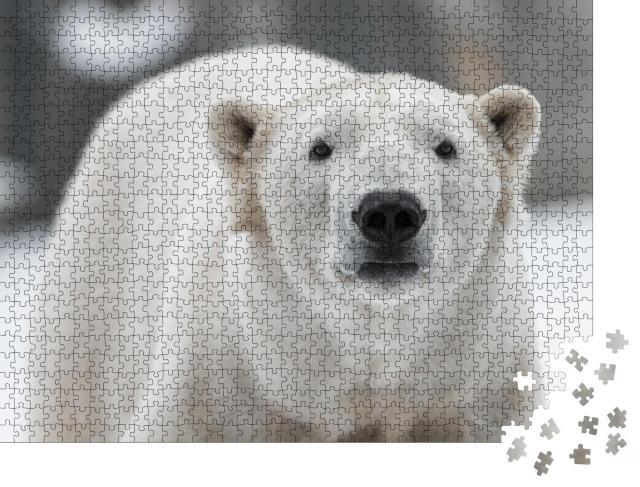 """Puzzle 1000 Teile """"Männlicher Eisbär, Ursus maritimus im Schnee"""""""