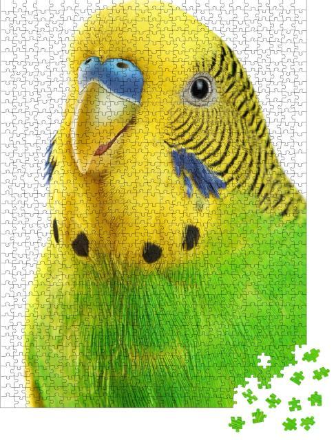 """Puzzle 1000 Teile """"Nahaufnahme: gelbgrüner Wellensittich isoliert auf weißem Hintergrund"""""""