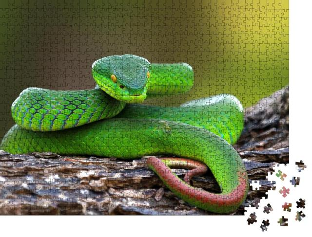 """Puzzle 1000 Teile """"Naufnahme: Trimisurus albolabris, grüne Schlange auf Ast"""""""