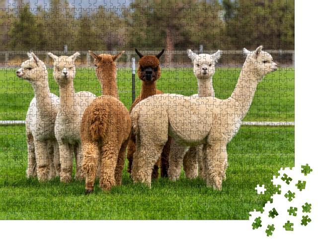 """Puzzle 1000 Teile """"Alpakas auf einer Ranch auf einem Bauernhof, Oregon"""""""