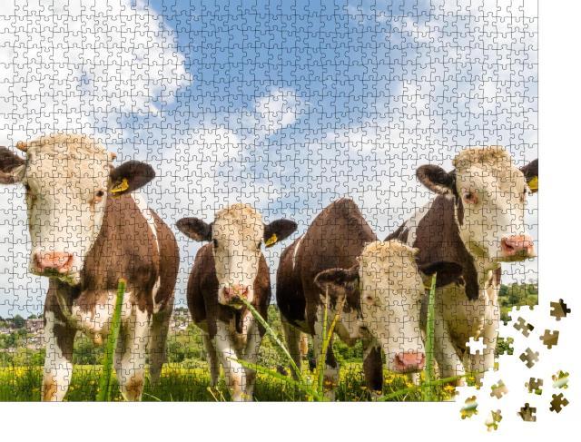 """Puzzle 1000 Teile """"Vier junge Kühe auf einer Weide in England"""""""