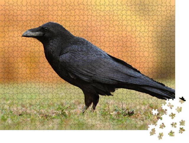 """Puzzle 1000 Teile """"Der Kolkrabe aus der Familie der Sperlingsvögel"""""""